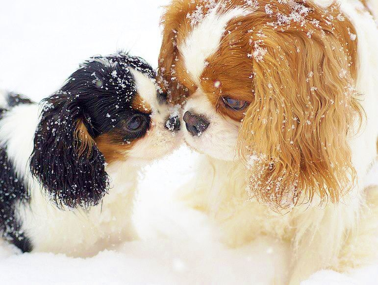 tri and blenhiem and snow love us love our puppies pinterest valpar hundar och djur. Black Bedroom Furniture Sets. Home Design Ideas