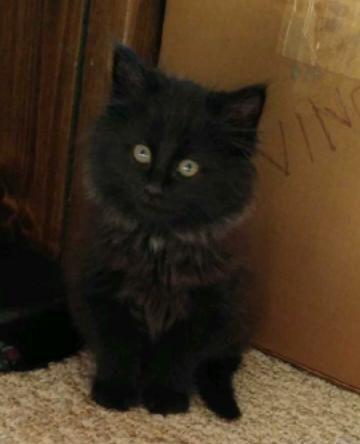 Adopt Buddy Gorgeous Kitten On Petfinder Long Haired Kittens Kitten Cats