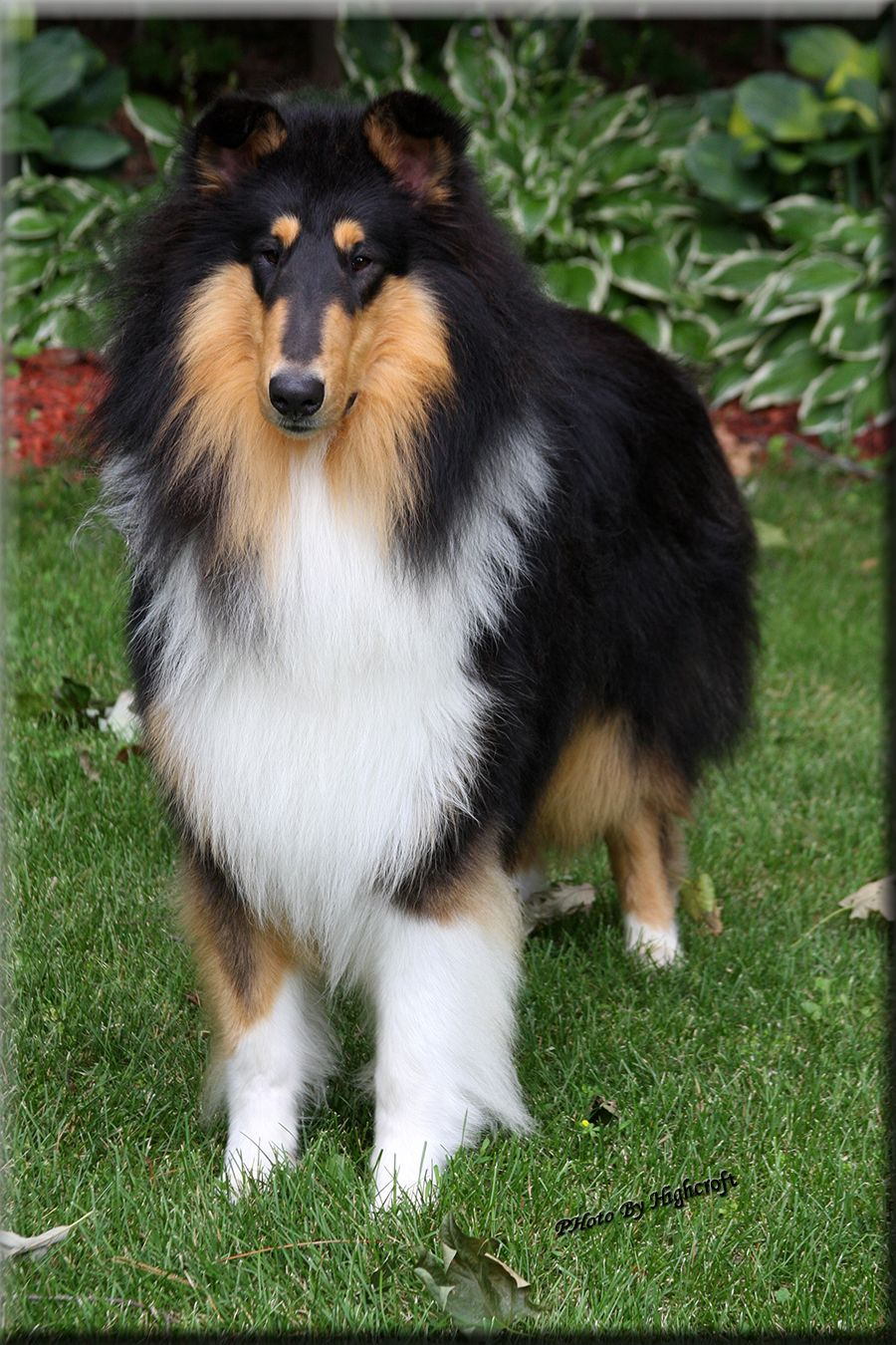Highcroft Collies Collies Hamel Mn With Images Collie