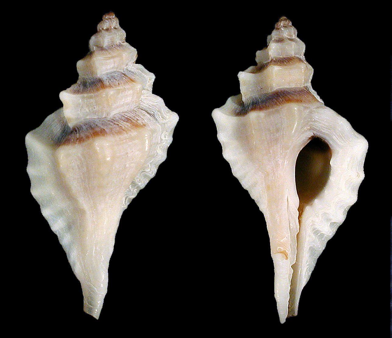 Sharp-rib drill | Shells Crystal seashells Sanibel florida