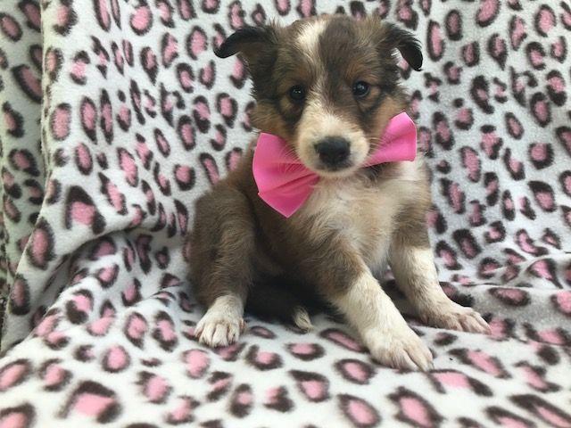 Shetland Sheepdog Puppy For Sale In Ephrata Pa Adn 46628 On