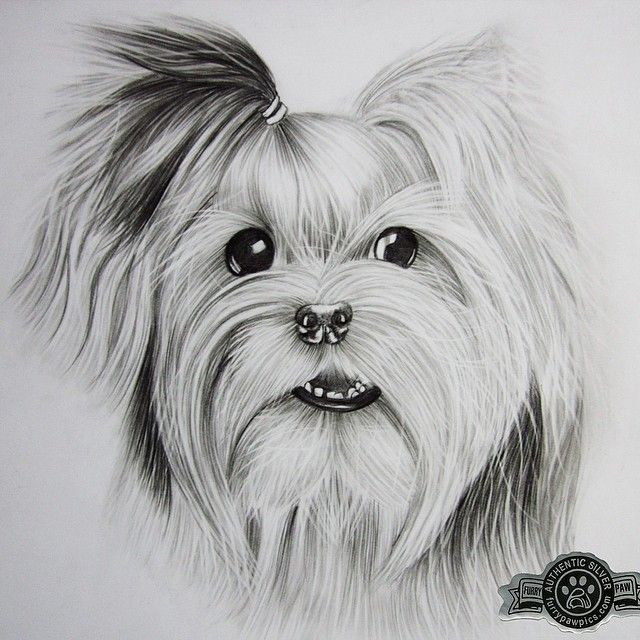 Commissioned #furrypaw #silver custom portrait!. Order your portrait today! www.furrypawpics.com #instapets #ilovemypet ##ilovemypet #petstagram #petpics #pets #animal #dogs #cats #puppies #kittens ##drawings #illustrations #art #love #photooftheday #instagood #instart #instafashion #yorkie