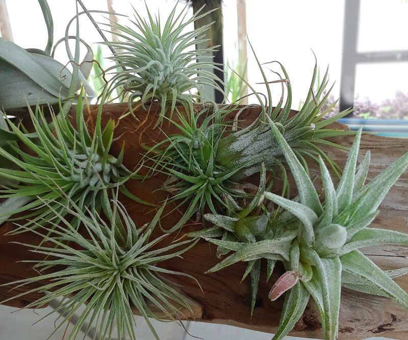 How to Water Air Plants Misting Plants, Air plants