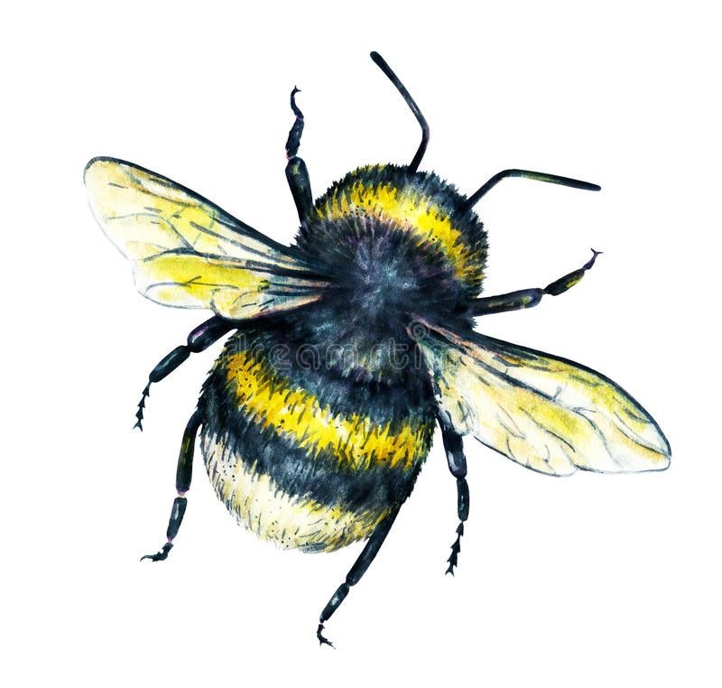 Bumblebee On A White Background Watercolor Drawing Insects Art Handwork Top Ad Watercolor Drawing Backgr Bee Drawing Insect Art Watercolor Drawing