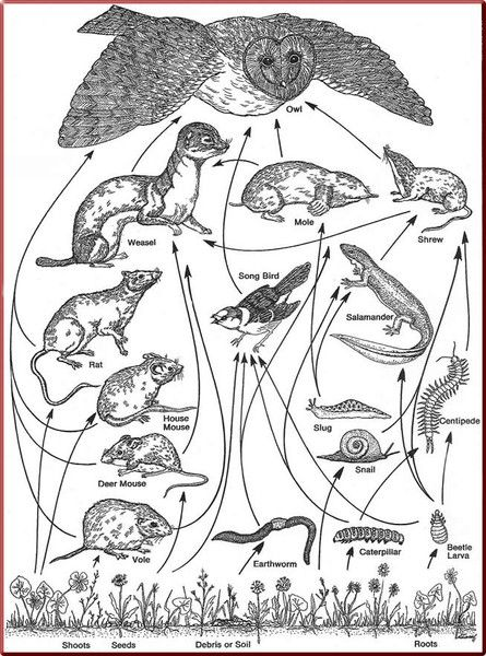 This is a drawing of the Owl's Food Web. This shows all ...