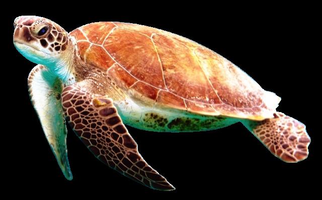 Turtle Png Image Turtle Animals Sea Turtle