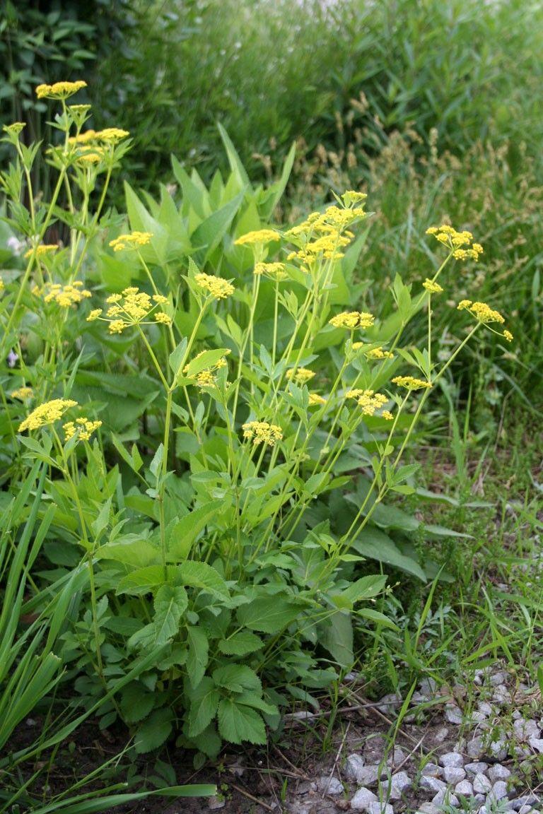 Golden Alexander Zizia Aurea Umbels Of Tiny Yellow Flowers Late