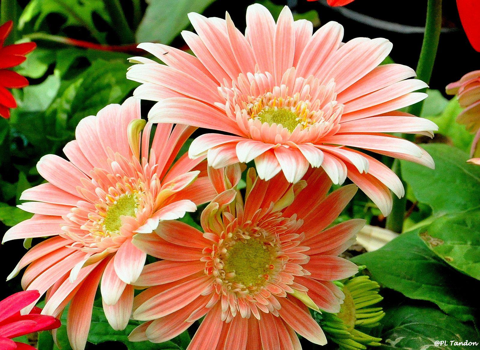 Pink Gerbera Pink Gerbera Gerbera Flower Images
