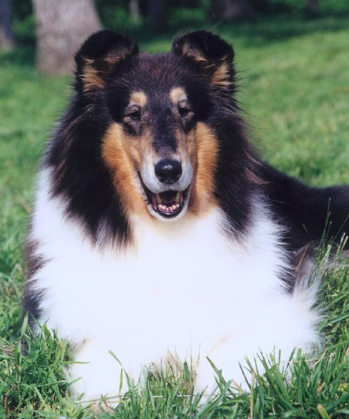 Tri Color Collie I Had Two Of These Beautiful Dogs Collie Rough Collie Sheep Dog Puppy