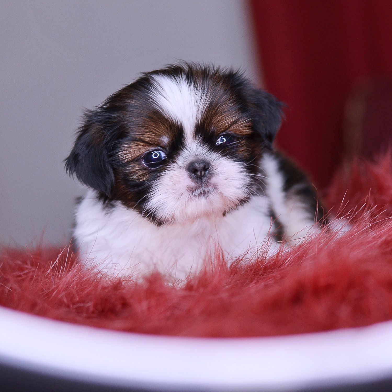 Imperial Shih Tzu Wasabi At 1 Month Really Cute Puppies Shih Tzu Puppy Imperial Shih Tzu