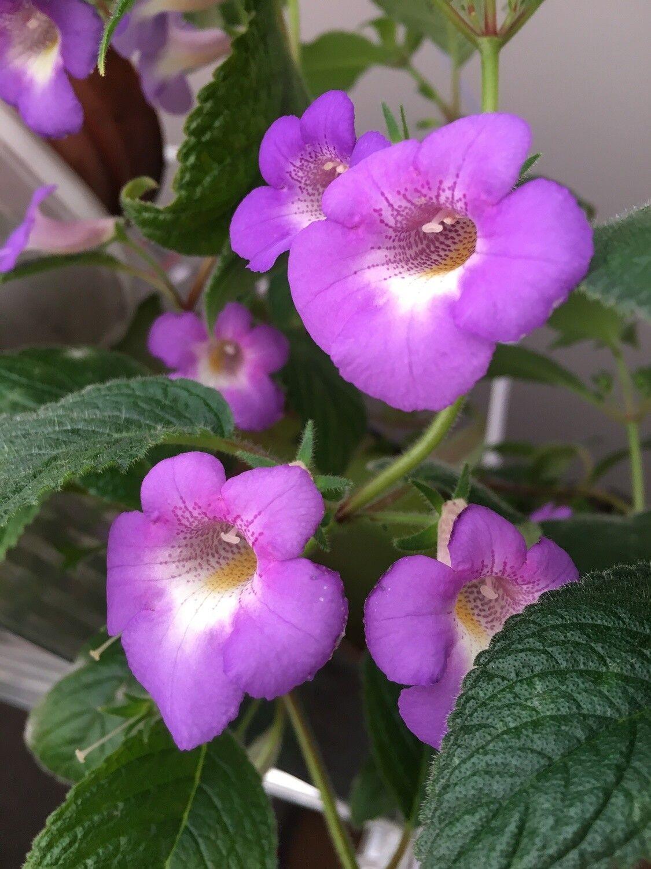 ACHIMENES Hylda 3 Rhizomes