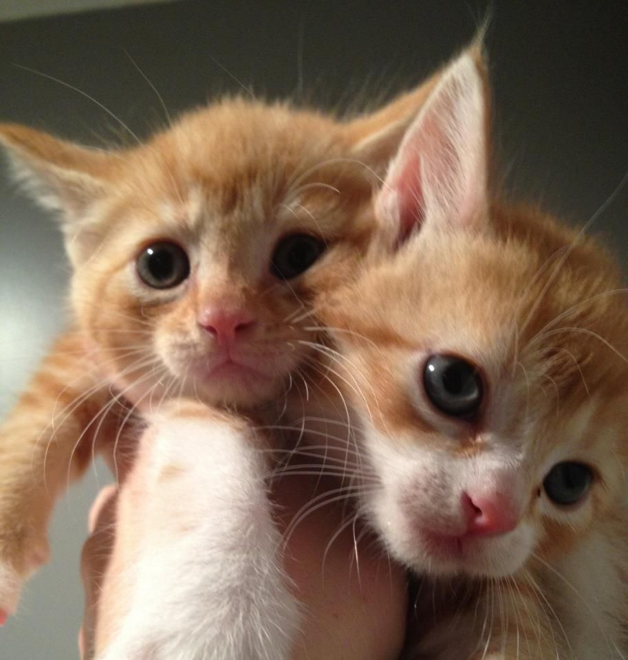 Mama Jillian S Little Orangies 3 No It Isn T A 2 Headed Kitty