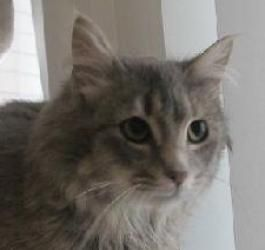 Silver C130043 Is An Adoptable Domestic Medium Hair Cat In Edina Mn Name Silver Age 6 Months Gender Female Breed Dlh Gray Cats Dog Friends Cat Adoption