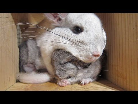 This Touching Chinchilla Video Will Make You Cry For Mom Cute Animals Animals Chinchilla