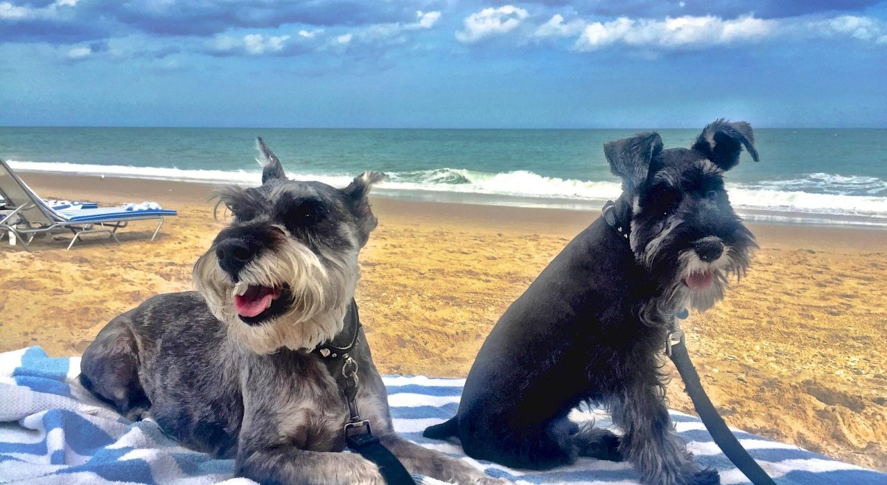 Elway And Ponce Command The Beach At Costa D Este In Vero Beach Kara Franker For Visit Florida Dog Friendly Hotels Dog Friendly Beach Dog Friendly Vacation