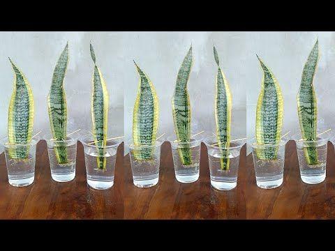 Photo of Vermehrung von Schlangenpflanzen durch Blattschnitte in Wasser