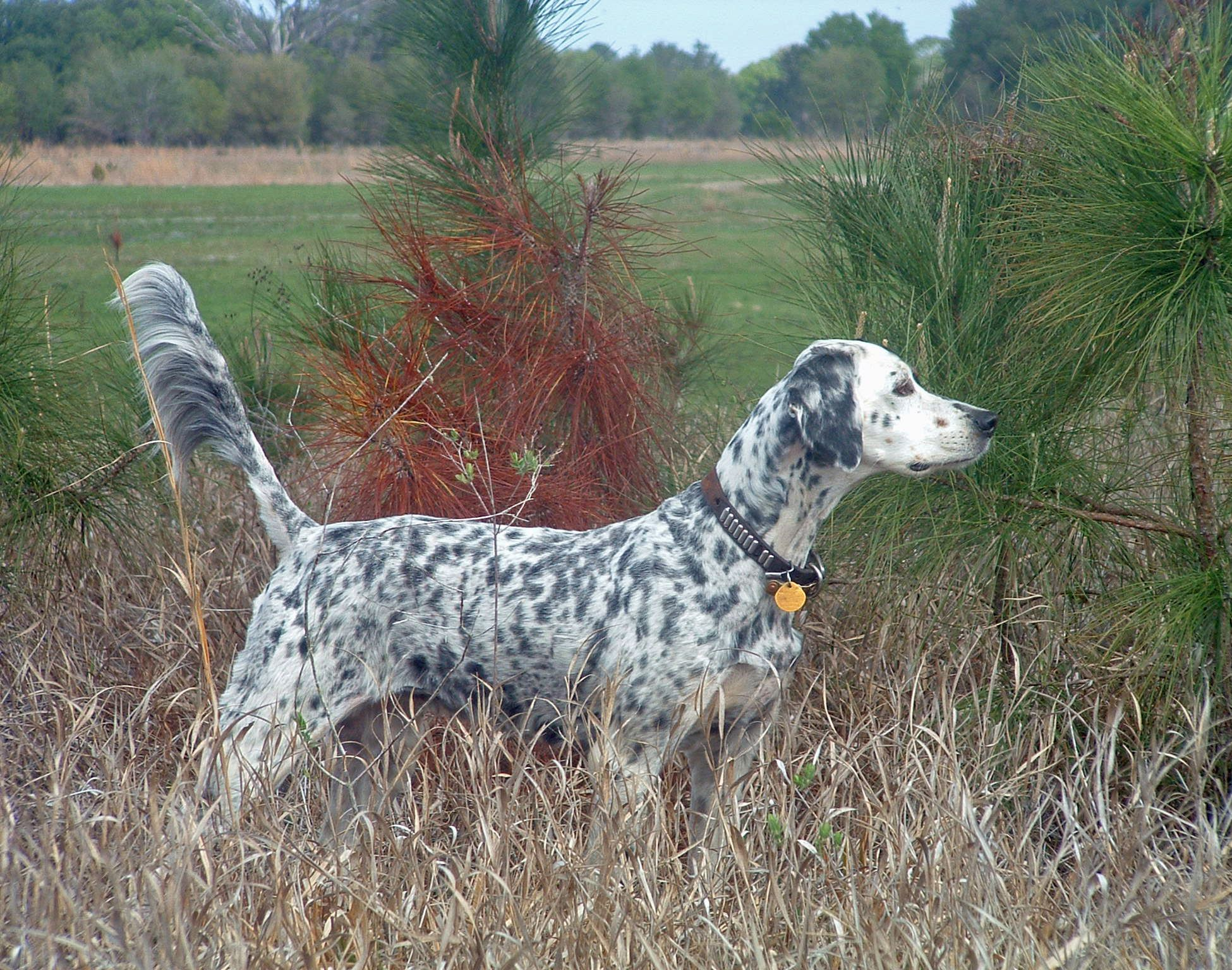english setters dog ph...