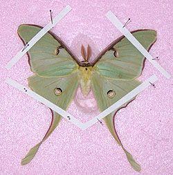 pinning bugs