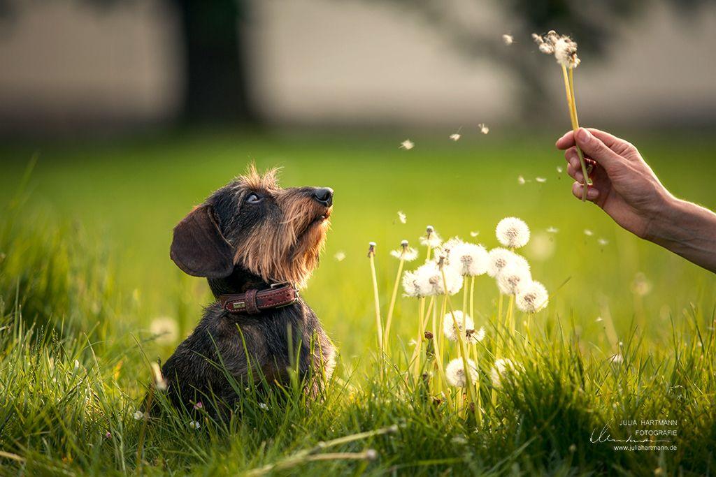 Der Dackel Und Die Pusteblume Fotografie Studio Hundefotografie Dackel