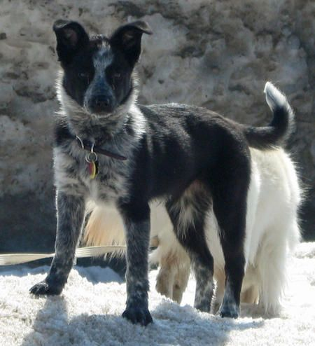 Australian Cattle Dog Border Collie Mix Australian Cattle Dog