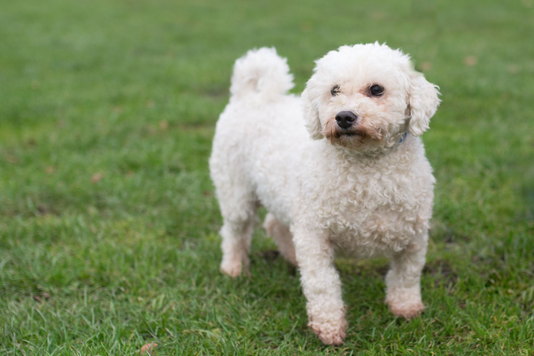 Bichon Frise Male Neutered 6 Years 10 Months Old Reserved Bobby Joe Is To Be Rehomed With His Brother Max D2017291 Bichon Frise Bichon Dogs