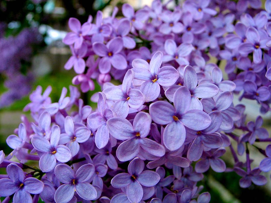 Efectele florii de liliac asupra organismului