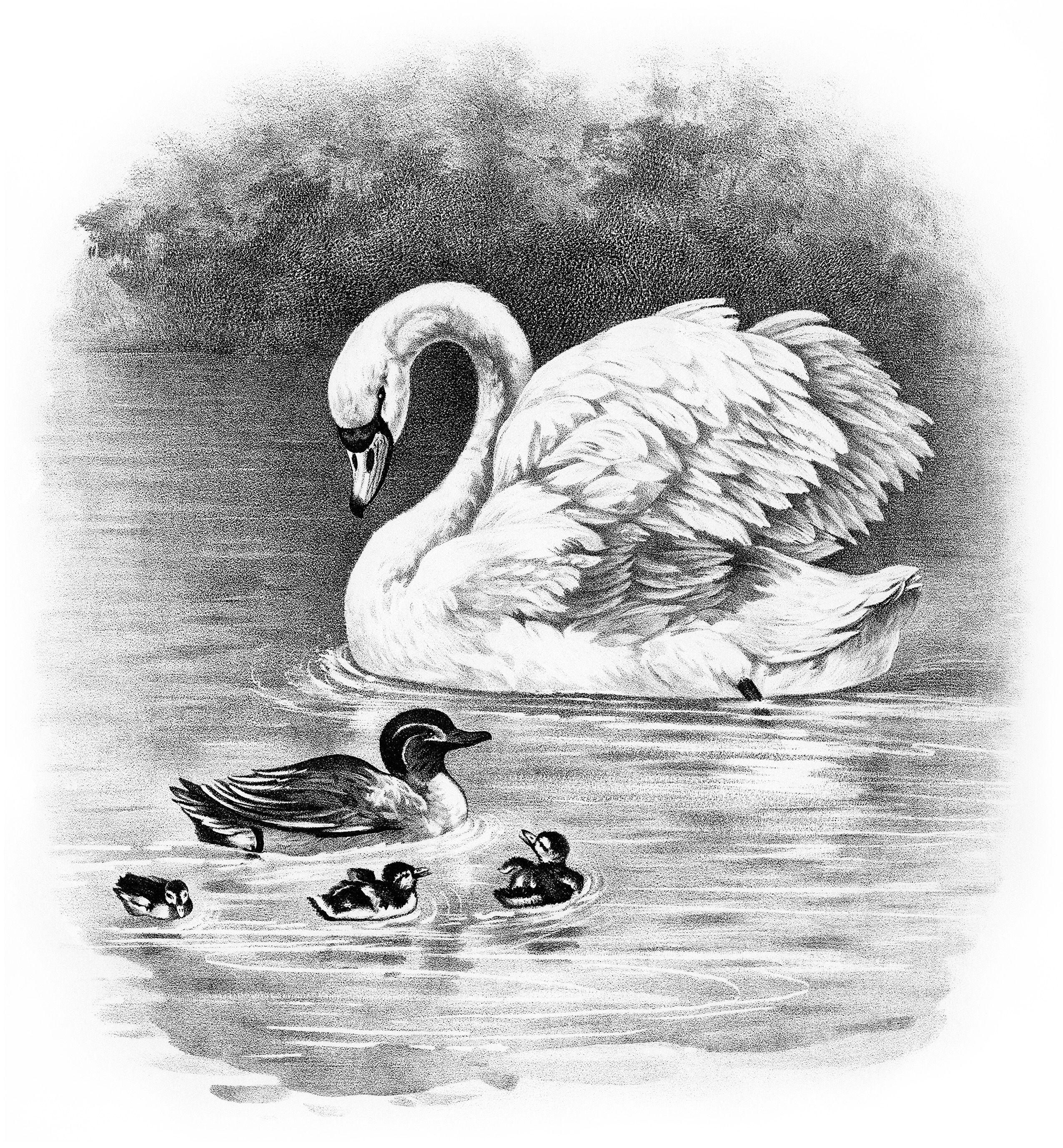 Картинки про лебедя карандашом