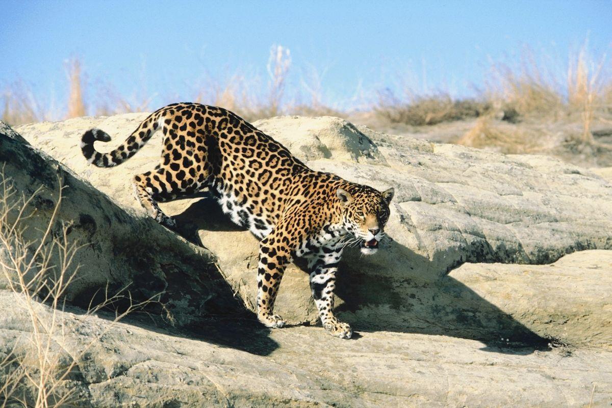 image result for arizona jaguar | texas wild!