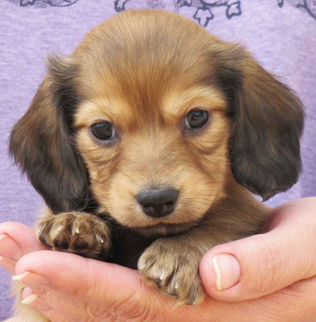 Long Haired Dachshund Google Search Momma Needs A Puppy For