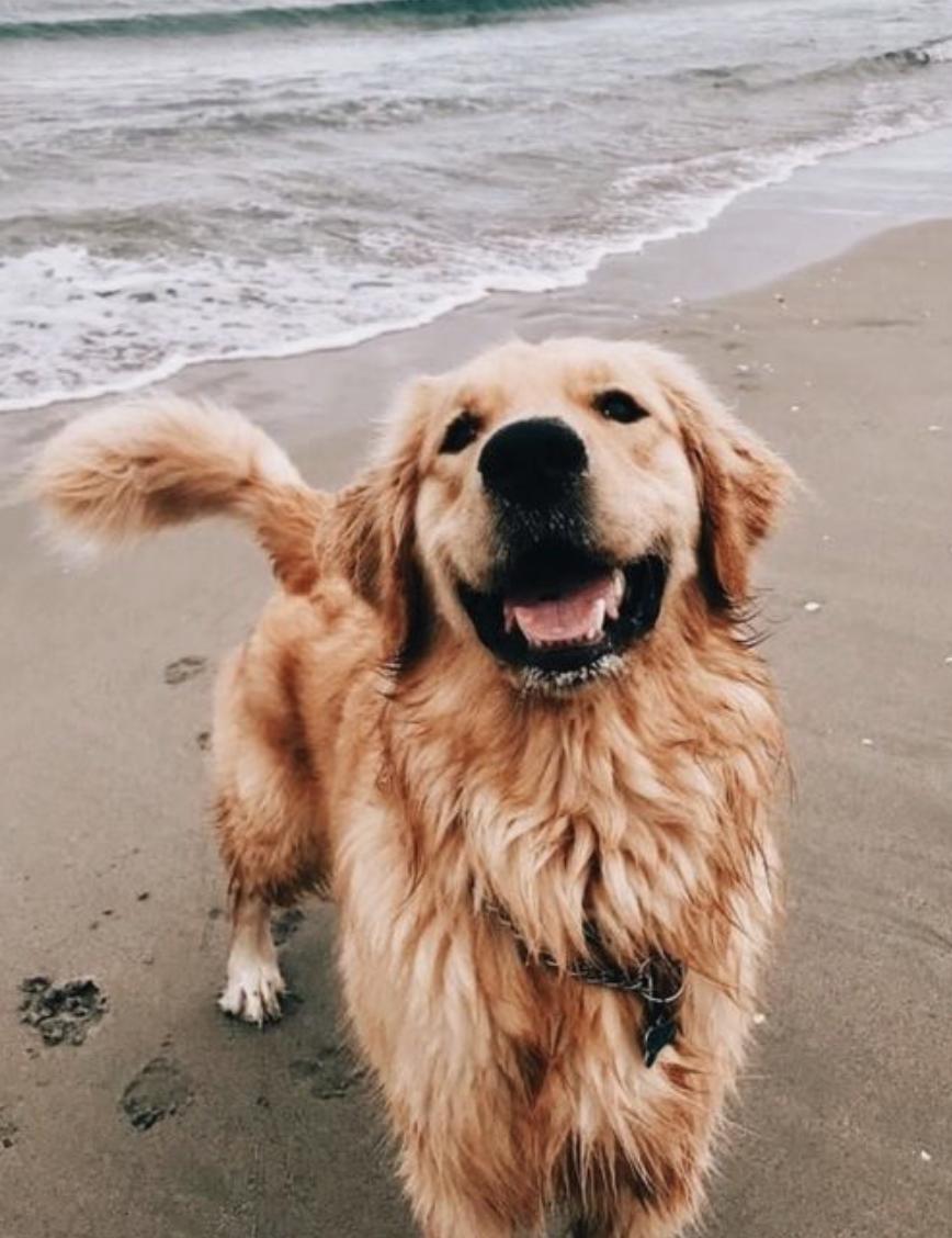 Golden Retriever Noble Loyal Companions Dogs Pinterest