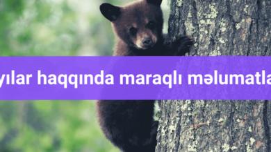 Ayilar Haqqinda Maraqli Məlumatlar 1 Black Bear Bear Animals