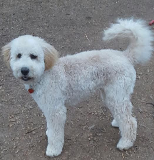 Adopt Brody On Poodle Rescue Dogs Golden Retriever Mix