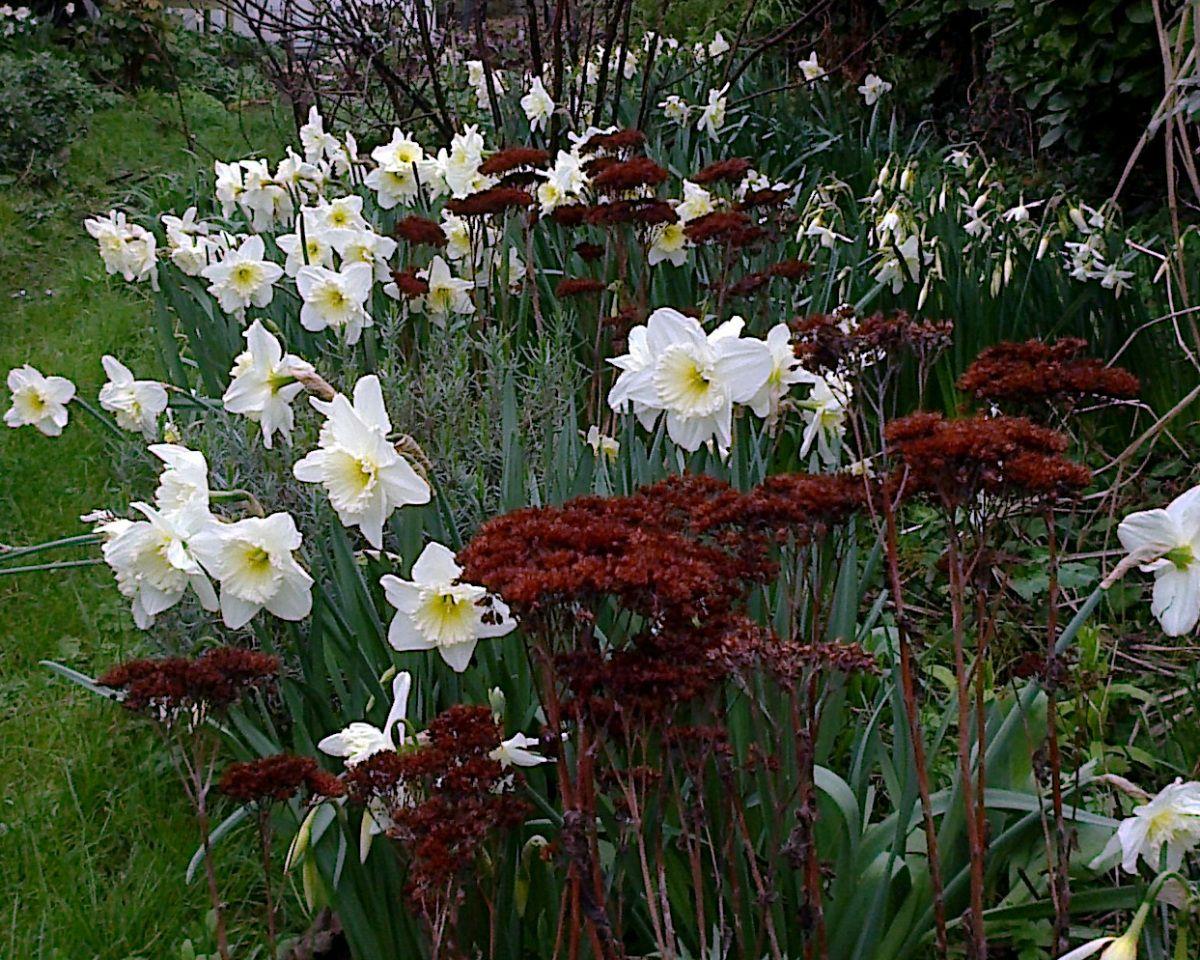 Narcisses et sedum Narcisse, Bulbes de printemps et