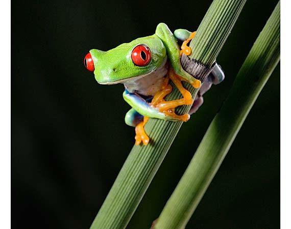 Frog Art Frog On Leaf Equisetum Tree Frog Photo