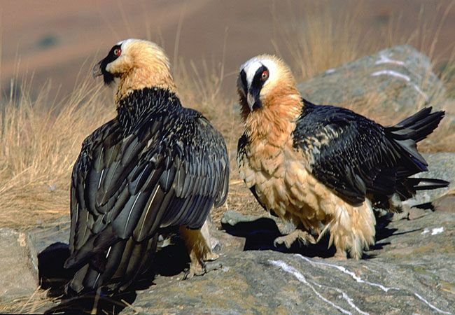 Bearded Vulture {Gypaetus barbatus}