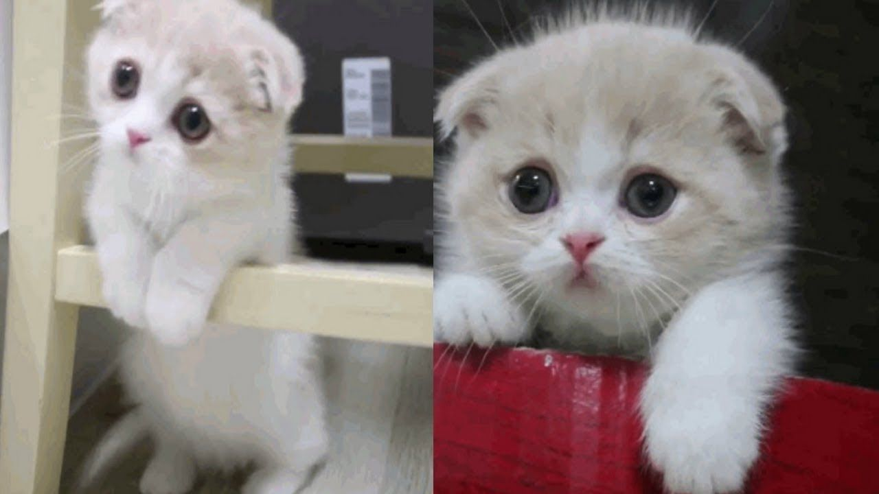 Scottish Fold Munchkin Kitten Catniphumor Cats Meowing
