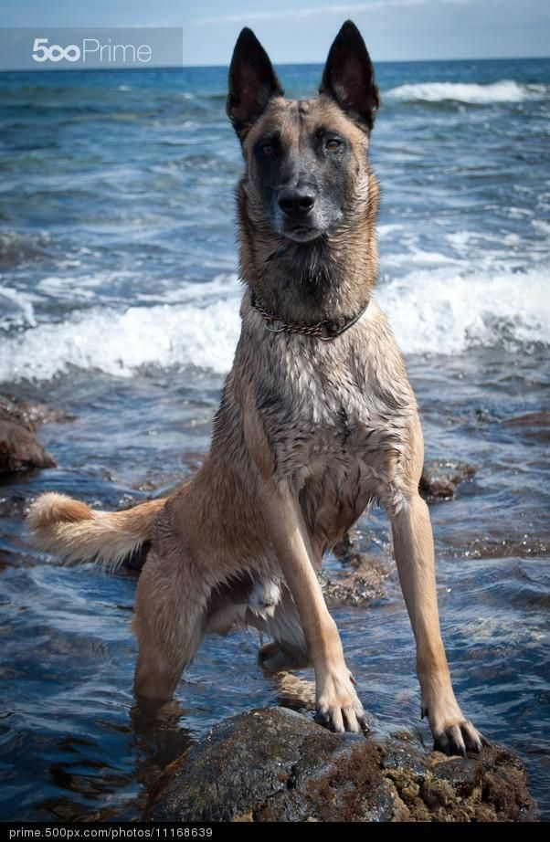 Ferinto by Dan A. S. ️😊 Dog obsessed, Belgian malinois