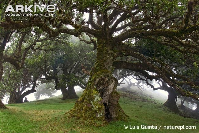 Ancient Evergreen Hardwood Trees In Laurel Forest Madeira Tree Nature Garden Ancient Tree