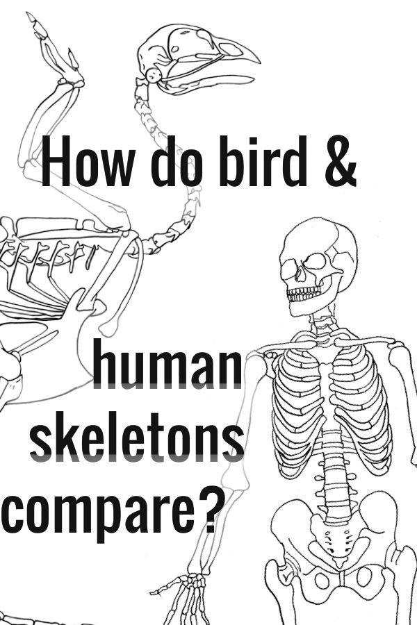 Skeletal System studies—3 activities using real (chicken) bones ...