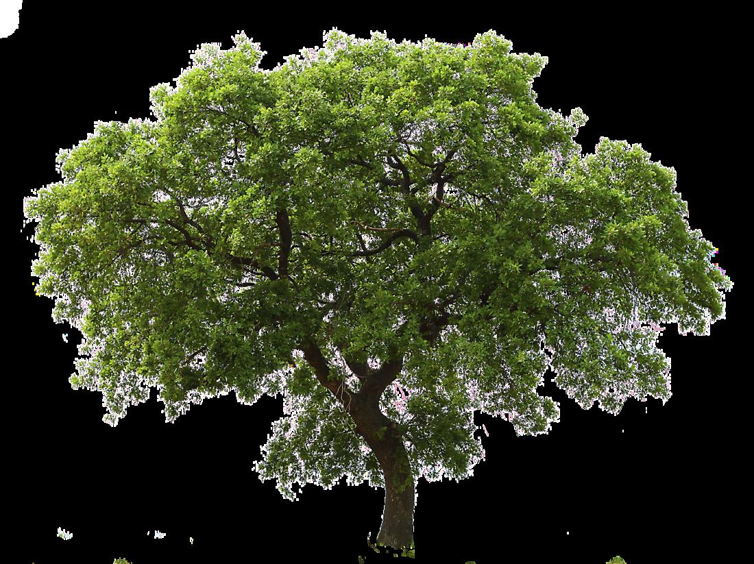 Oak Tree Png Tree Photoshop Tree Textures Interior Rendering