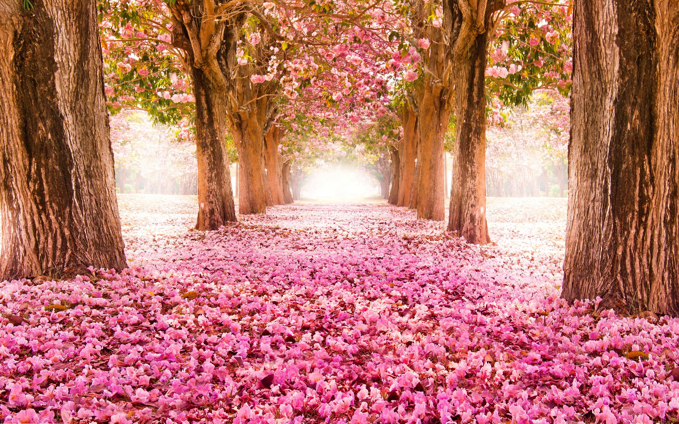 Spring Blooms Cherry Blossoms Spring Flowers Wallpaper Tree Tunnel Blossom Trees