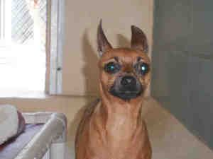 Chika Is An Adoptable Miniature Pinscher Dog In Tampa Fl