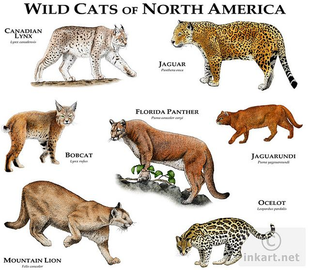 Wild Cats Of North America Wild Cats Small Wild Cats Animals Wild