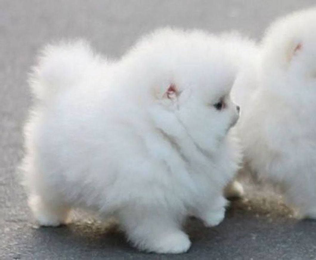When You Re Just A Cloud With Legs Fluffy Dog Breeds White