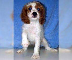Cavapoo Puppies For Sale In Indiana Cavapoo puppies