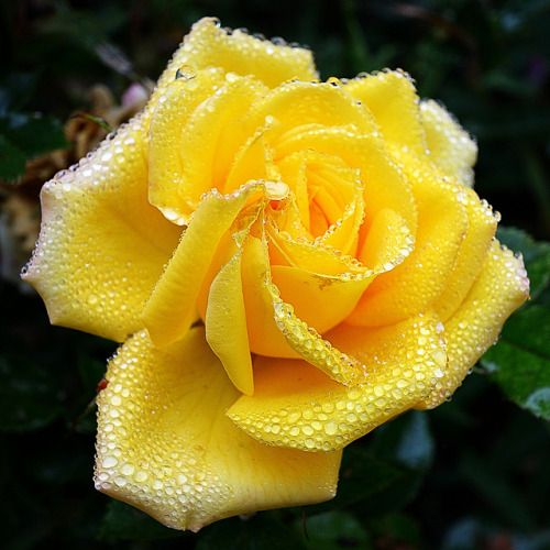 Pin By Sherbahr Crafts A Ro On Roses Yellow Roses Beautiful Roses Beautiful Flowers