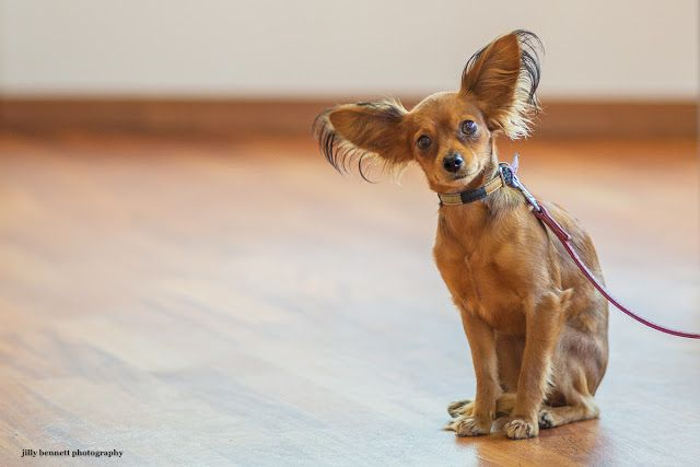 The Russian Toy Terrier Russian Toys Dogs