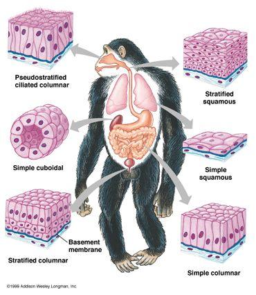 Epithelial Tissue | MVZ | Pinterest | Biología, Medicina y Laboratorios