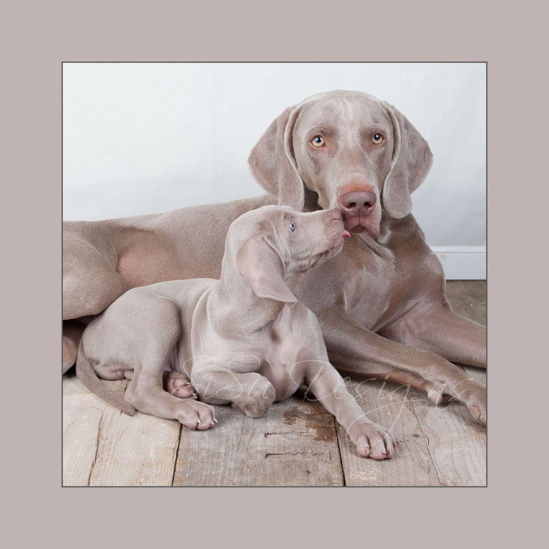 Weimaraners Grey Ghost Weimaraner Dogs Pet Dogs