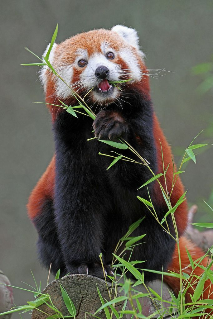 Red pandas are listed as vulnerable on the IUCN Red List of Threatened Species because of habitat loss. There are fewer than 10,000 adult red pandas.